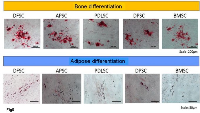 Sorted cell of Bone differentiation & Adipose differentiation
